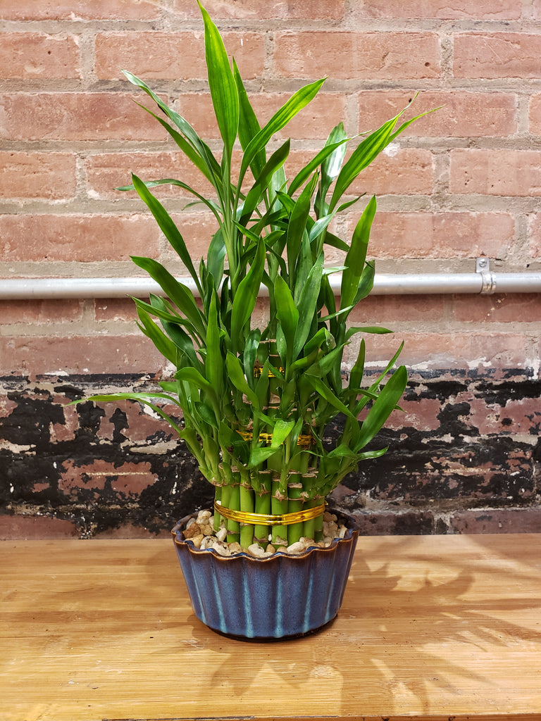3-Tier Bamboo in Blue Pot