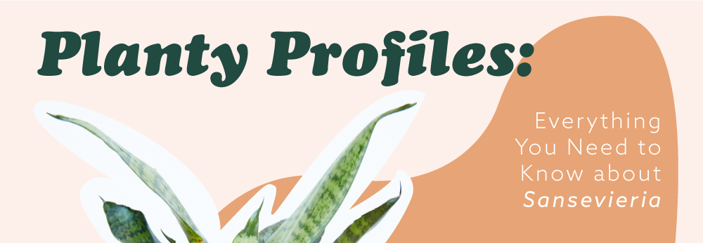 Planty Profiles: Everything you need to know about Sansevieria