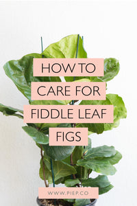 Fiddle Leaf Fig Care Guide