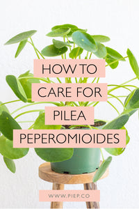 Pilea Plant Care Guide