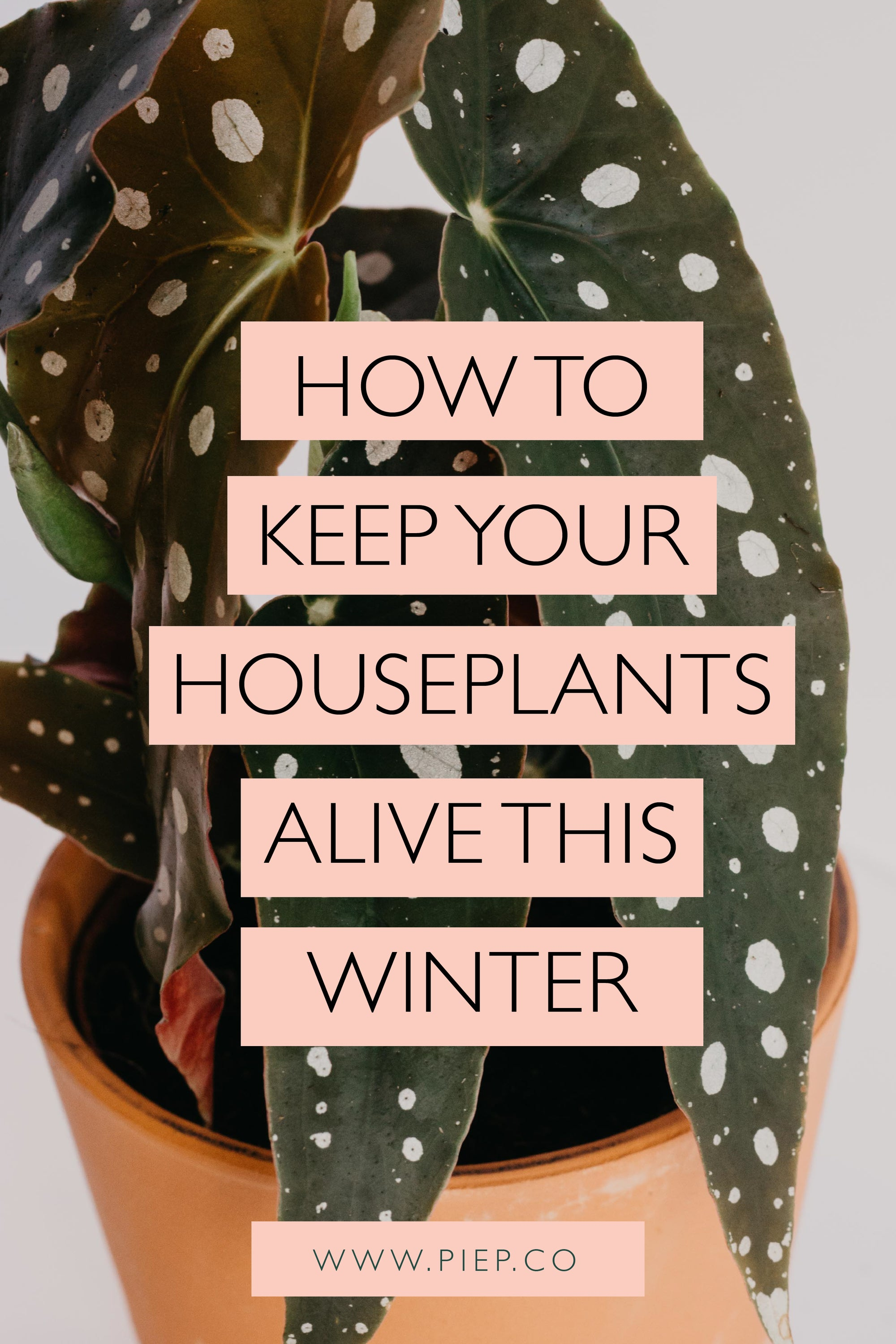 "photo of small begonia maculata with the words: ""How to keep your houseplants alive this winter"" laid over the top"