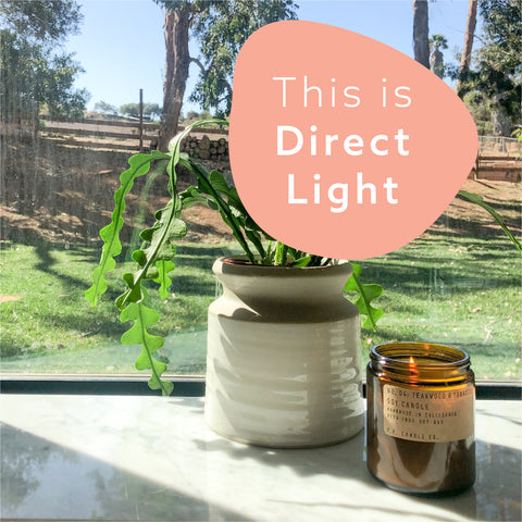 picture of a ric rac cactus plant in a cream and tan pot in a window with bright light shining on it