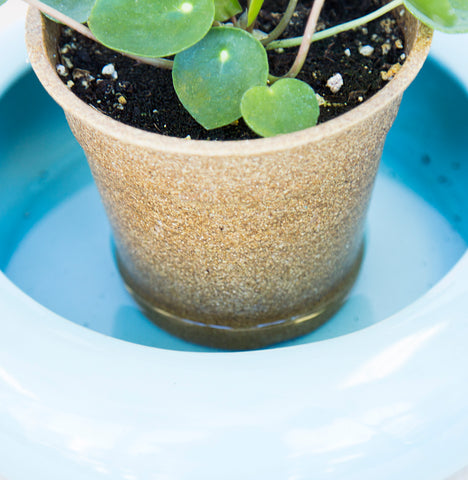 pilea in saucer of water for bottom watering