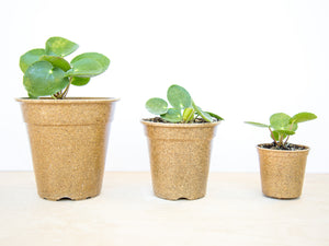 Three Pilea peperomioides , Chinese Money Plant, Friendship Plants