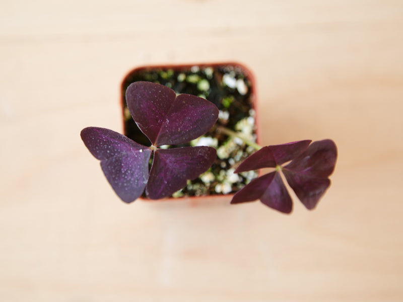Oxalis triangularis - Butterfly Clover