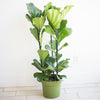 Fiddle Leaf Fig - Ficus Lyrata 10""