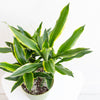 Dracaena 'Moonlight Carousel' - Moonlight Dracaena 6""