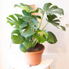 Monstera deliciosa - Poled Swiss Cheese Plant 10""
