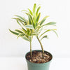 Dracaena reflexa 'Song of India - Song of India 6""