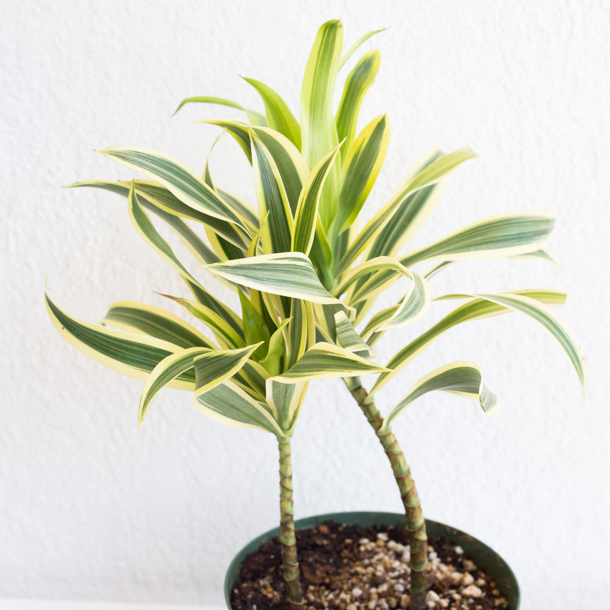 "Dracaena reflexa 'Song of India - Song of India 6"" Shippable"