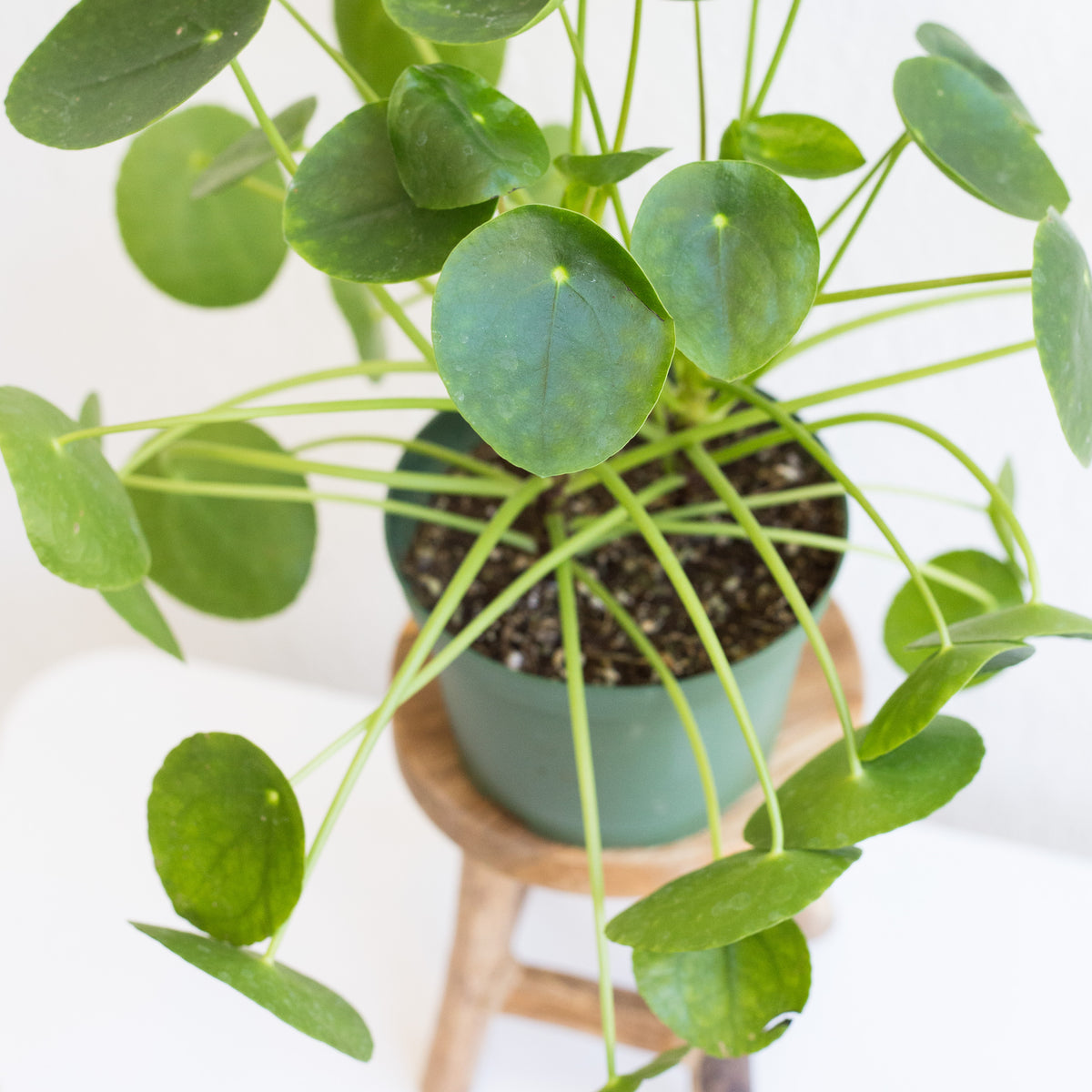 Pilea peperomioides - Friendship Plant 6""