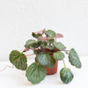 Strawberry Begonia - Saxifraga stolonifera 4""