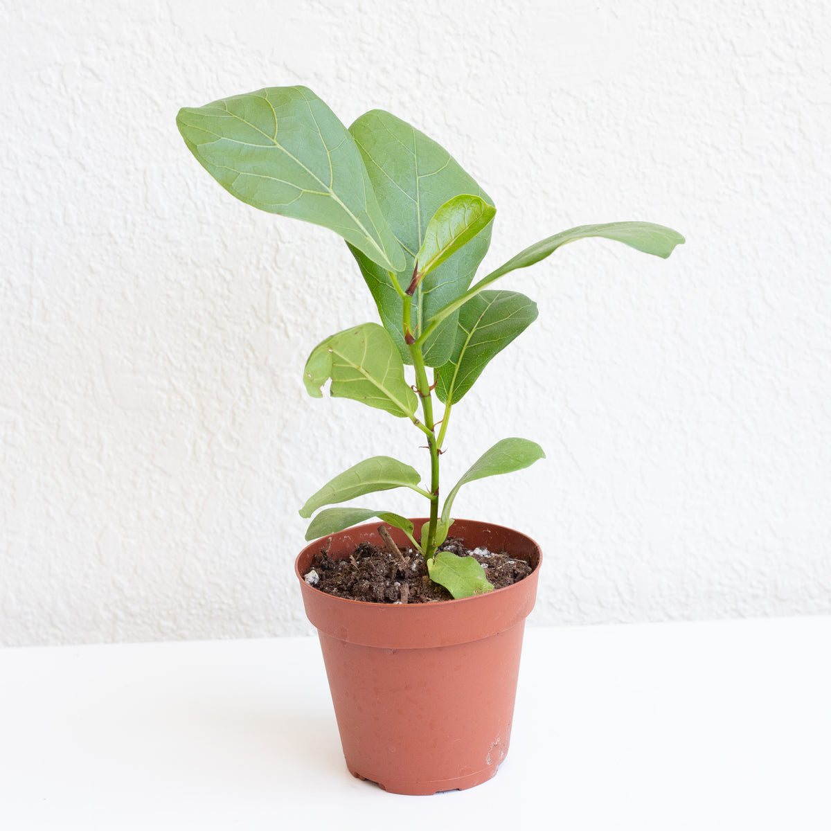 Fiddle Leaf Fig - Ficus lyrata 4""