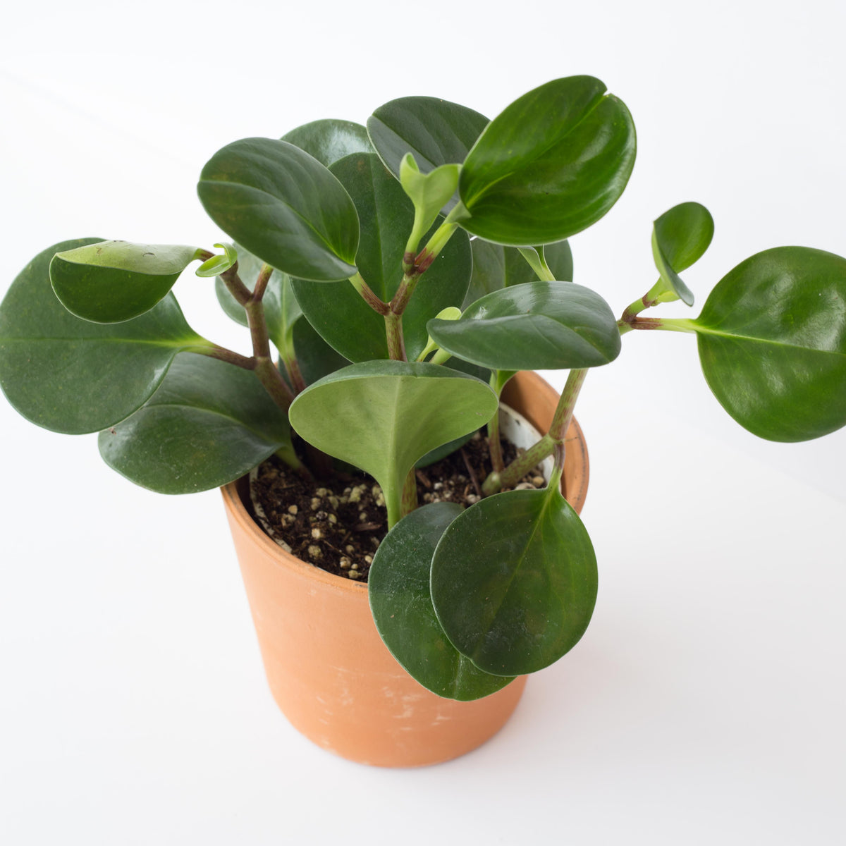 "Photo of a glossy green Peperomia in a 4"" terracotta planter on a white background. Also known as Peperomia obtusifolia 'Thailand'."