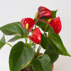 Anthurium scherzeanum 'Aristo Red' - Red Flamingo Flower 4""