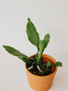 "photo of a orchid cactus in a 4"" terracotta pot on a white background."