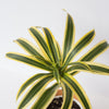 Song of India - Dracaena 4""