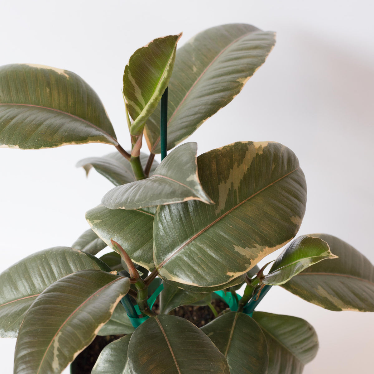 "Variegated Rubber Tree - Ficus elastic 'Tineke' 6"" Shippable"