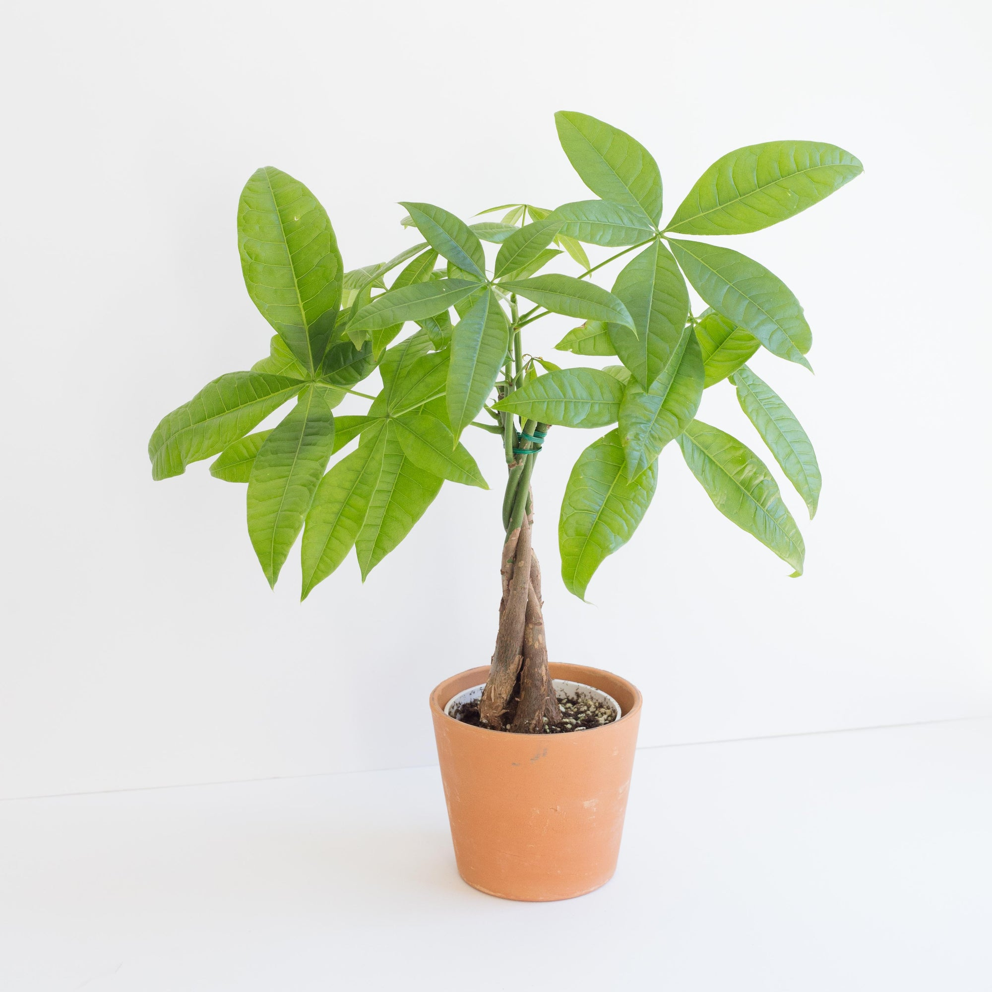 Braided Money Tree Plant Cheaper Than Retail Price Buy Clothing Accessories And Lifestyle Products For Women Men