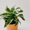 Dracaena fragrans - Tornado Twist 4""