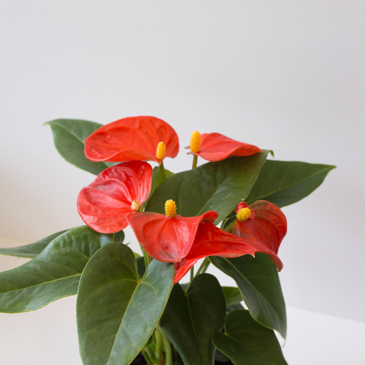 Anthurium scherzeanum 'Solara Orange' - Orange Flamingo Flower 4""