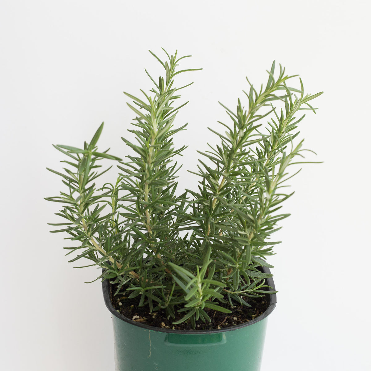 Rosemary - Tuscan Blue