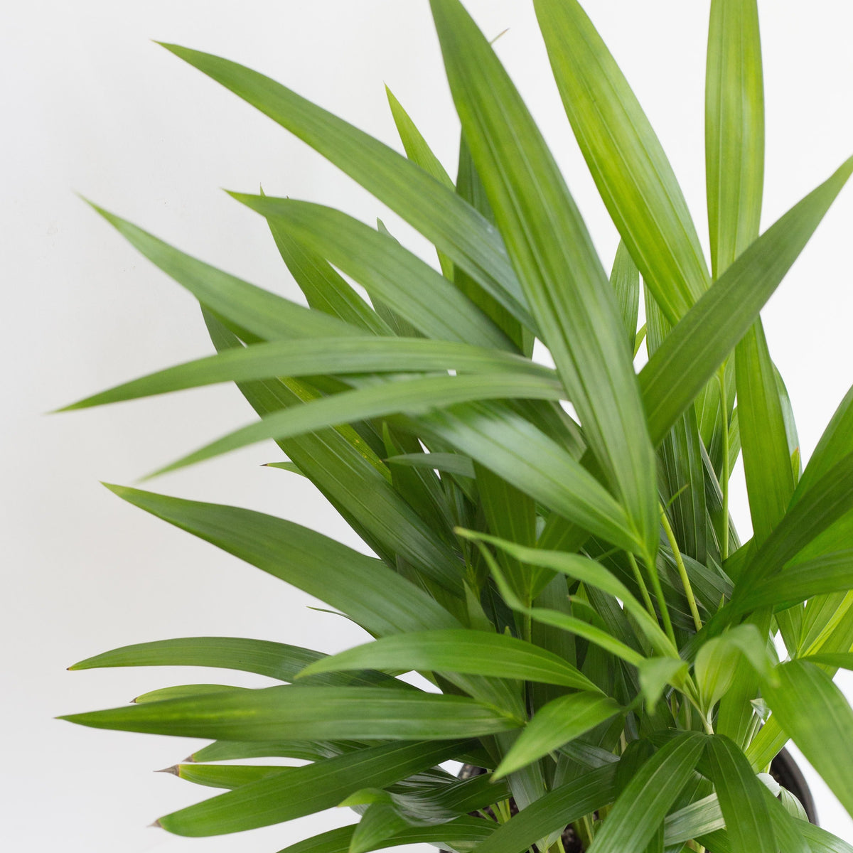 "Dypsis lutescens - Areca Palm 6"" Shippable"