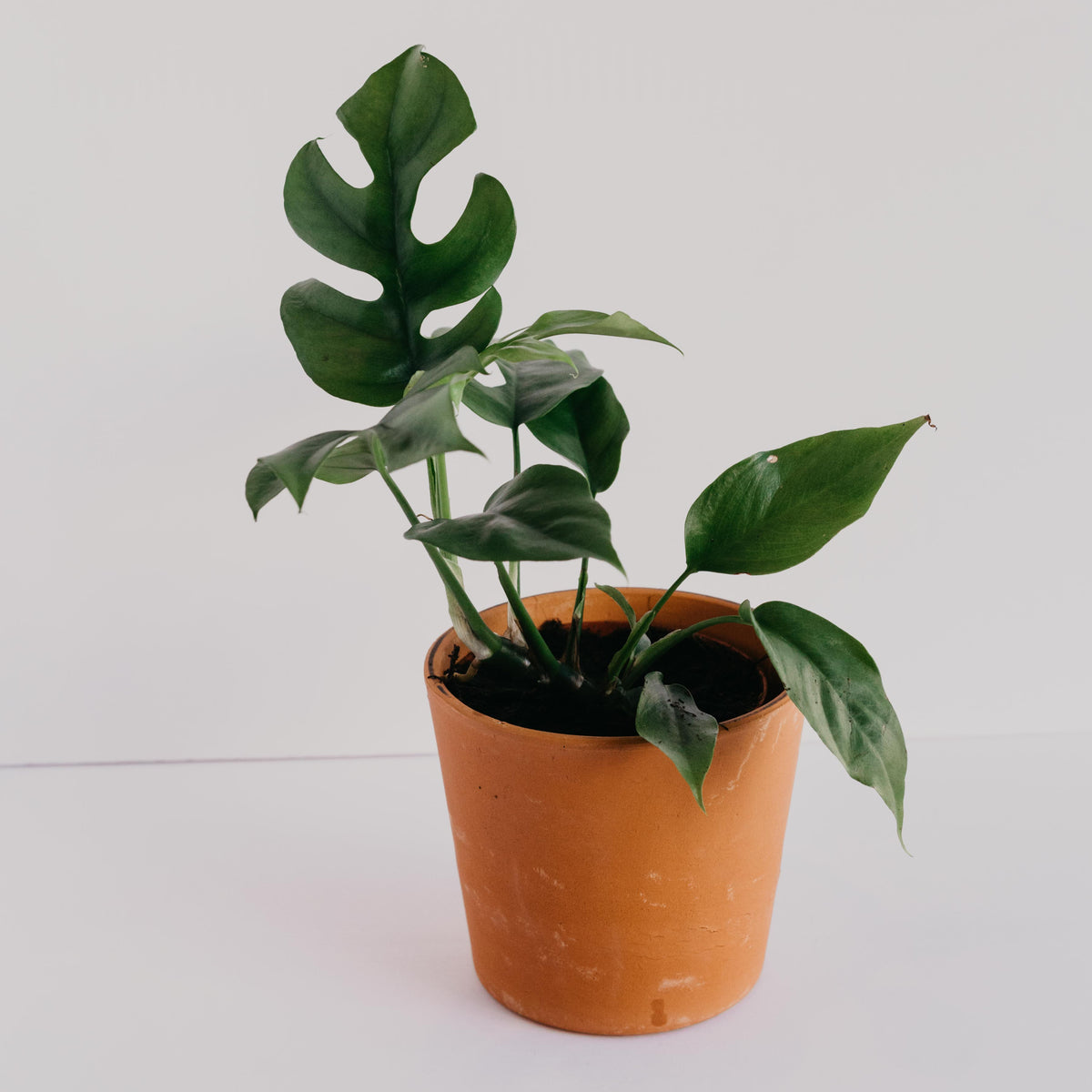 "Photo of a monstera minima in a 4"" terracotta planter on a white background. Also known as rhaphidophora tetrasperma."