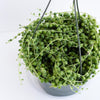 Senecio rowleyanus - String of Pearls 6""