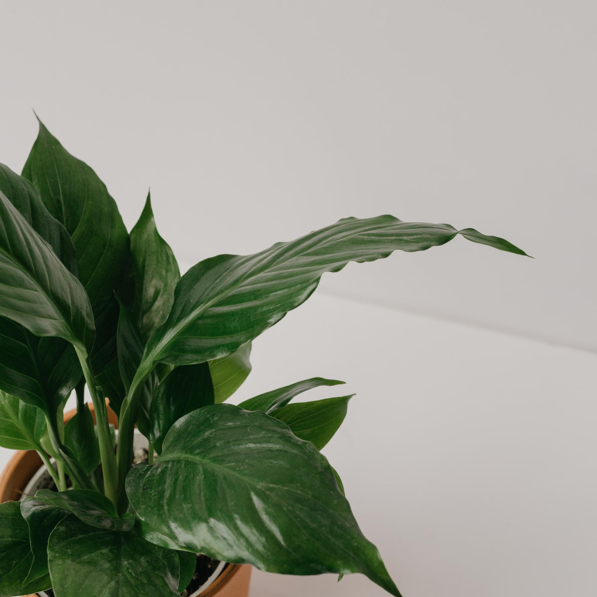 Spathiphyllum wallisii - Peace Lily 4""