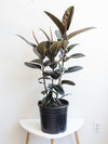Ficus elastic 'Burgundy' - Burgundy Rubber Tree 3 Gallon
