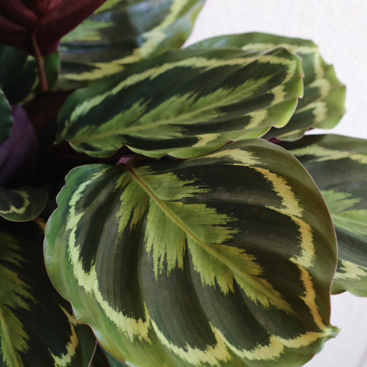 "Calathea aroseopicta - Medallion 6"" Shippable"