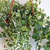 Ficus pumilla variegated - Variegated Creeping Fig 6""
