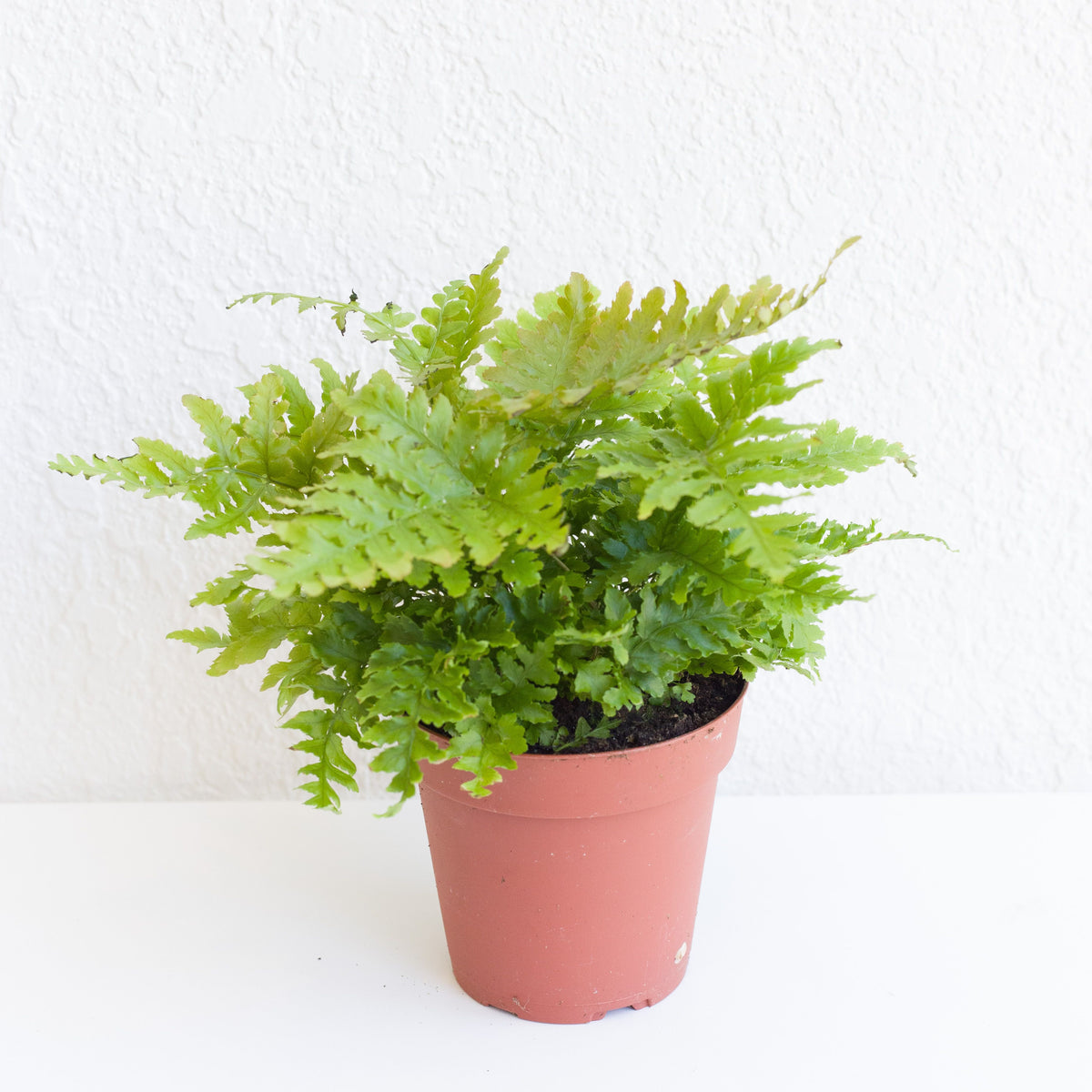 Dryopteris erythrosora - Autumn Fern 4""