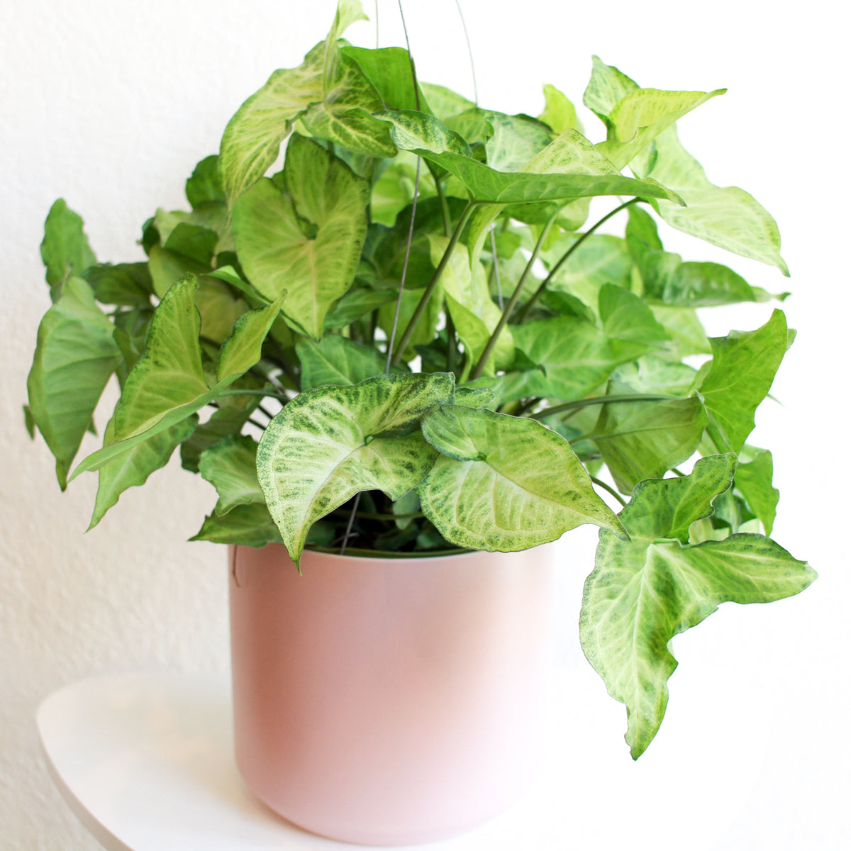 "Syngonium podophyllum  ""white"" houseplant in Pink ceramic pot; Also called Butterfly Plant, Arrowhead Plant"