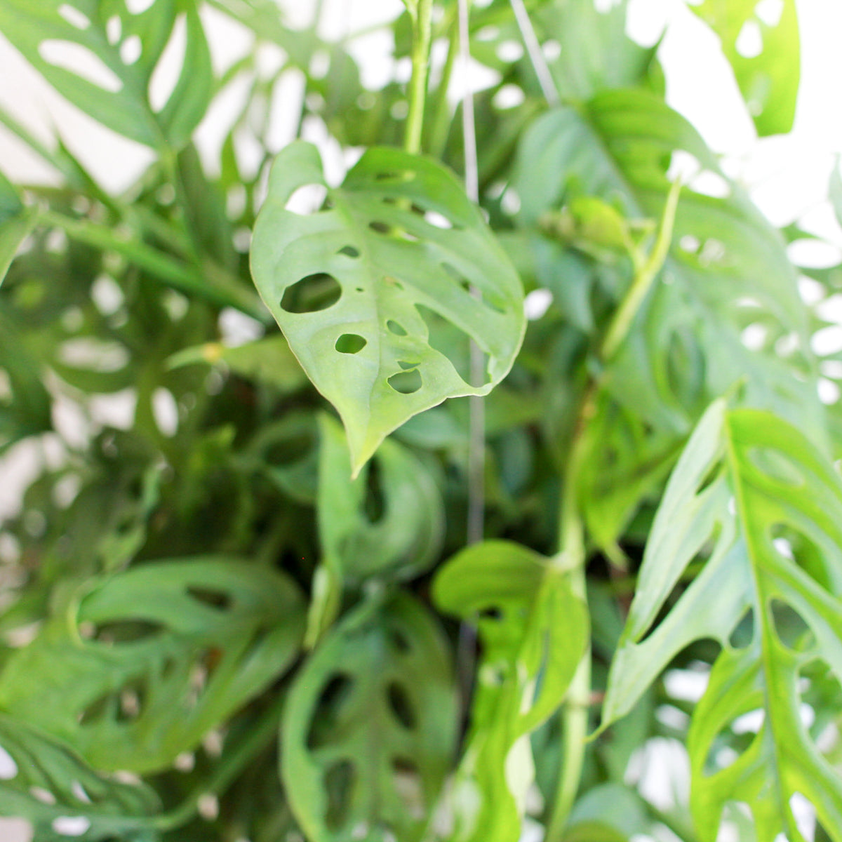 Monstera adansonii - Swiss Cheese Vine 8""
