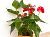 red anthurium in terra cotta pot