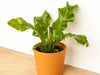 Asplenium nidus bird's nest fern in terra cotta pot