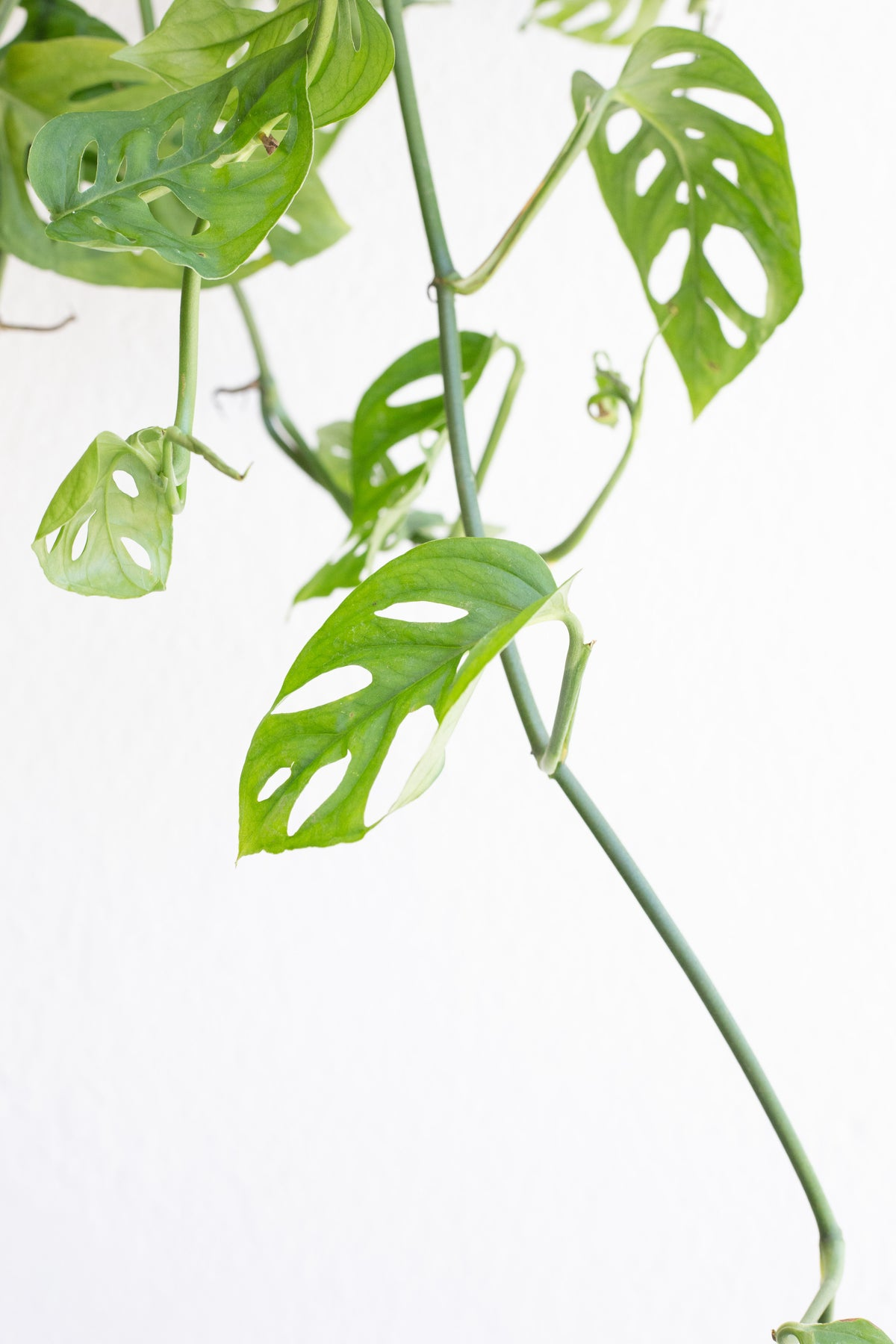Monstera adansonii - Swiss Cheese Vine 6""