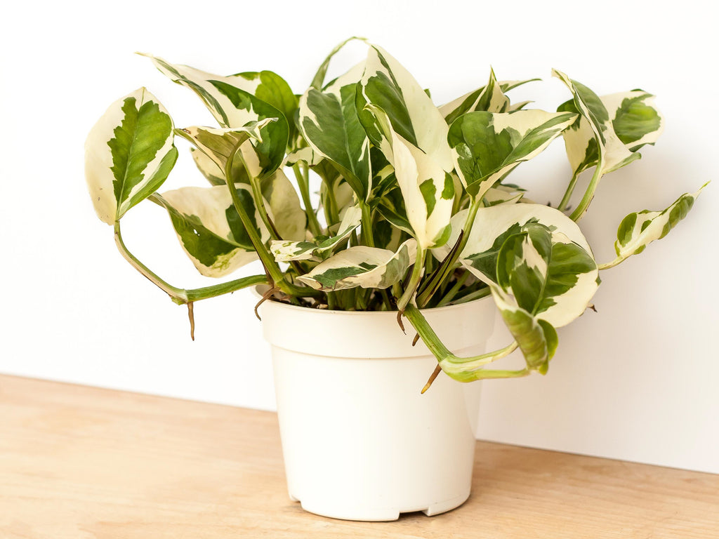 pothos n'joy houseplant closeup