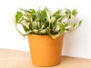 pothos n'joy houseplant in terra cotta pot