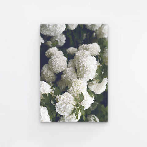 White Hortensia Canvas