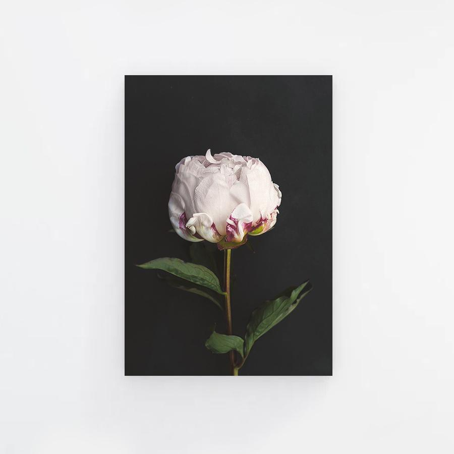 Peony Flower with Black Background Canvas