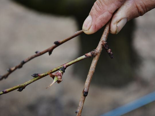 Too Few Chill Hours Could Affect Texas Fruit Crop