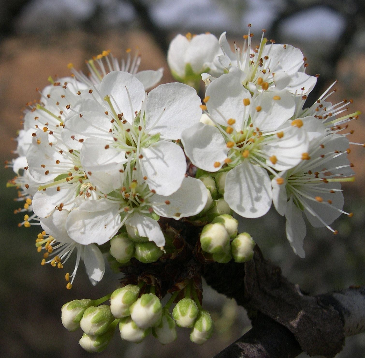 Mexican Plum Flowering Womack Nursery