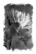 Brushed Blooms - 1x Large Art print, Protea 2