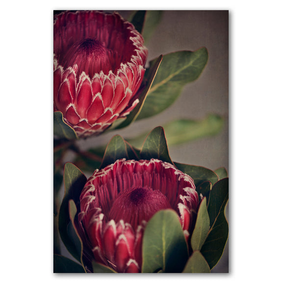 Unframed Art Print - Red Protea 2