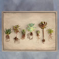 Succulent Study - 3x Art Prints, various sizes
