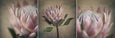 Protea Still - 3x Square Art prints, small