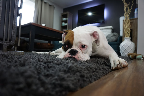 This bulldog loves to hang around the black rug at home.